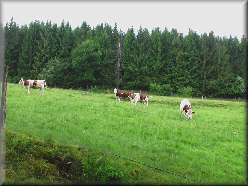 Vaches de race Montbéliarde