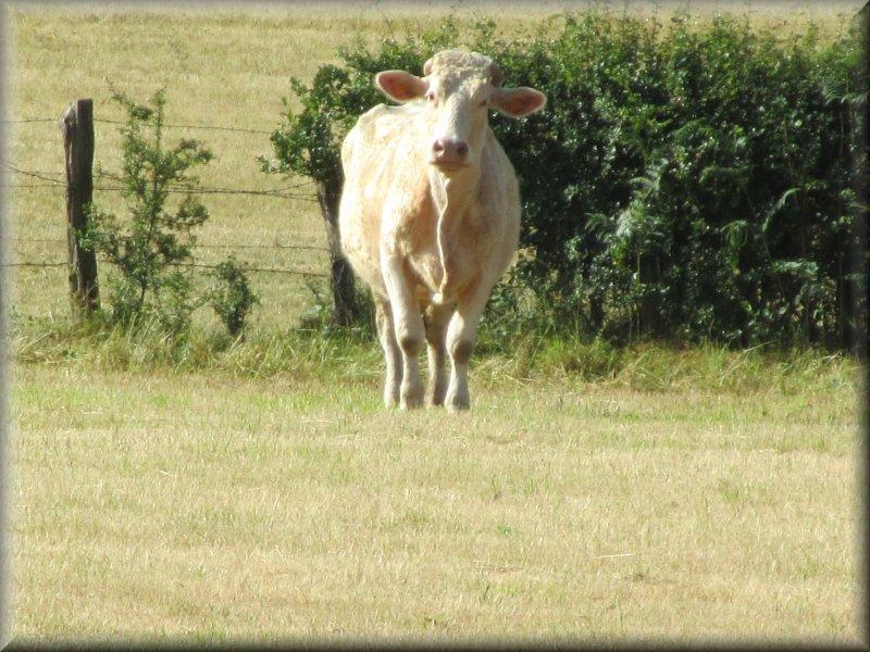 Vache de Race Charolaise