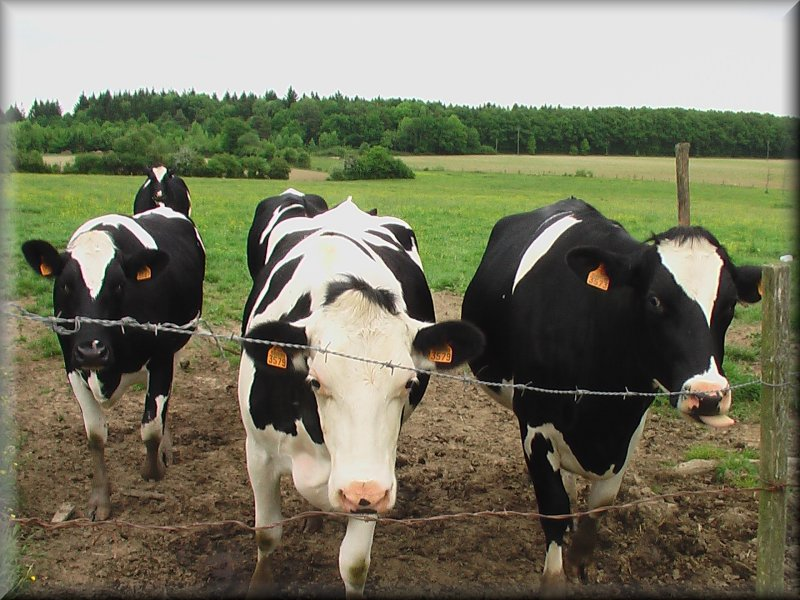 Vaches de Race Prim Holstein
