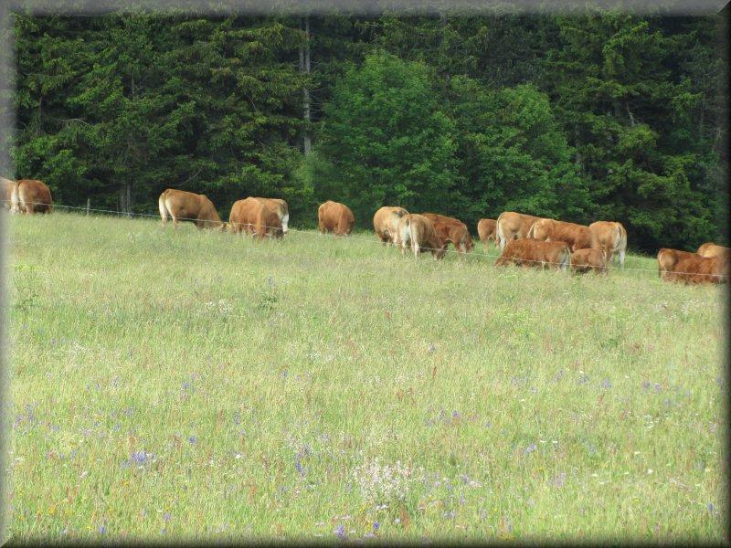 Vaches au pied du Mont Signon