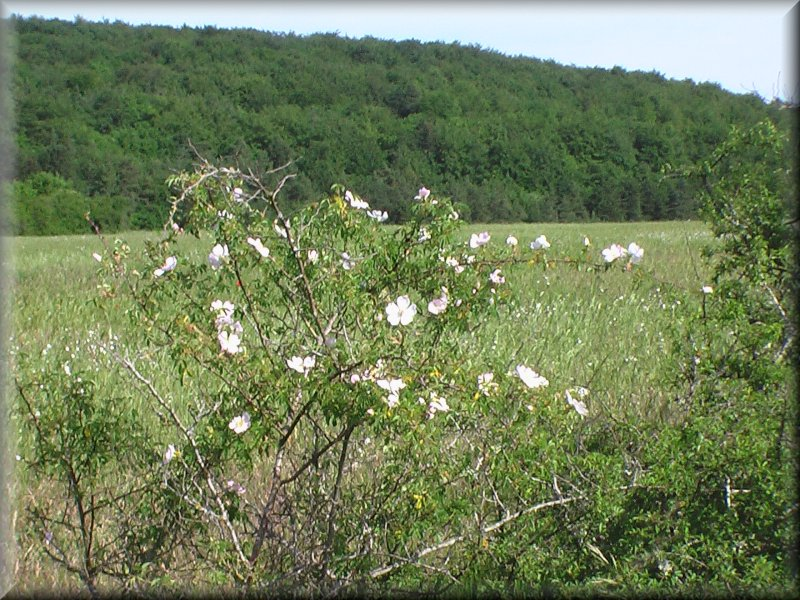Un Buisson d'Aubépines