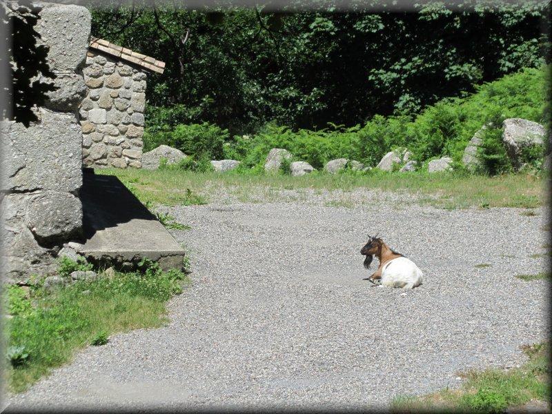 Chèvre à Puechagut