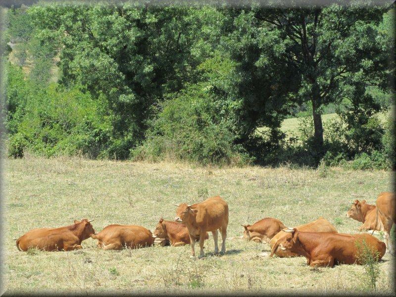 Vaches avant Dio