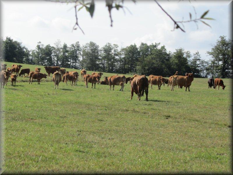 Troupeau de Vaches à Camp Grand