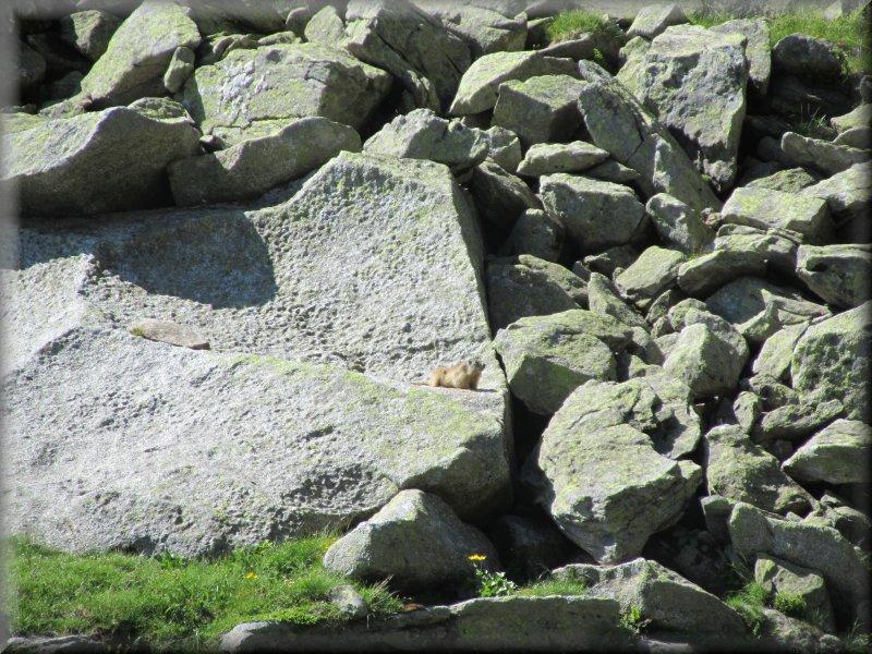 Une Marmotte dans les Eboulis