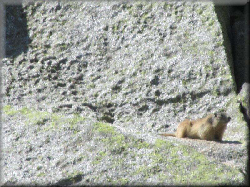 Une Marmotte peu Farouche !