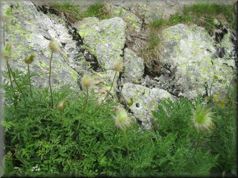 Pulsatille ou Anémone des Alpes à la Fin de sa Floraison